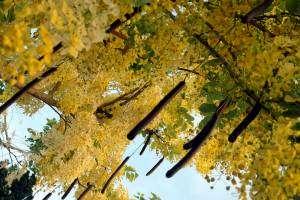 Un arbre à douche dorée