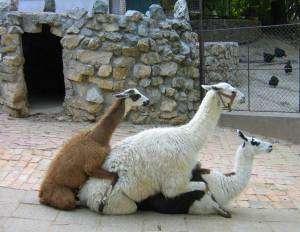 orgie de lamas
